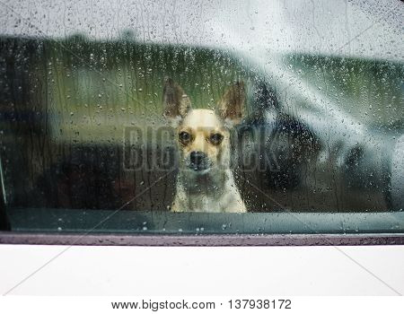 little dog looking through car window on a rainy day. sad dog chihuahua waiting in a locked car their owners