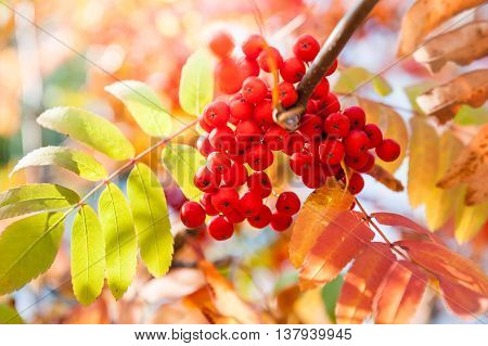 Autumn Rowan Tree With Red Berries