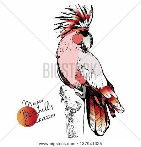 Vector hand drawn illustration of Major Mitchell Cockatoo parrot. Engraved exotic bird collection with high vibrant colors. Wild animals portrait.