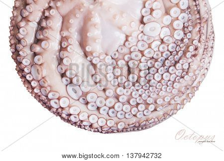Octopus closeup. isolated on white background