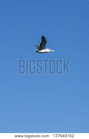 Pelican flying during the day in Queensland.