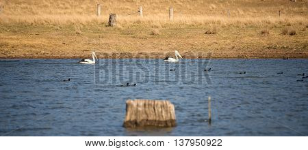 Pelicans swimming in the lake during the day in Queensland.