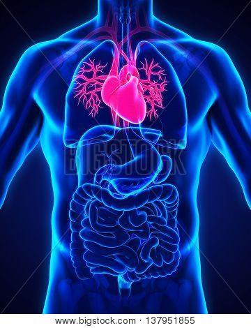 Human Heart Anatomy Illustration . 3D render