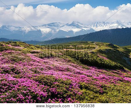 Summer landscape on a sunny day. Blooming slopes. Flowers pink rhododendron. Snowy peaks. Blue sky with cumulus clouds. The beauty in the wild. Collage of two frames
