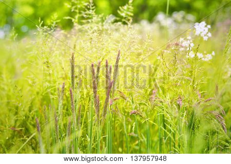 Green and pink grass on a spring meadow. Field with selective focus on the foreground. nature background.