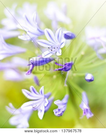 Bluebell flowers or Campanula rapunculoides in the sunlight. Sun and wild spring flowers with copy space. Summer wildflowers with smooth light and sunbeam. Golden light and pink flowers.