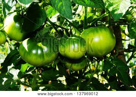 tomato, tomatoes, bullish, heart, large, green, brush, branch, ripening, greenhouse, summer, ripen, harvest, plan, stem, bush, rural, farm, vegetable, food, nature, plant, garden, growing, many, grow