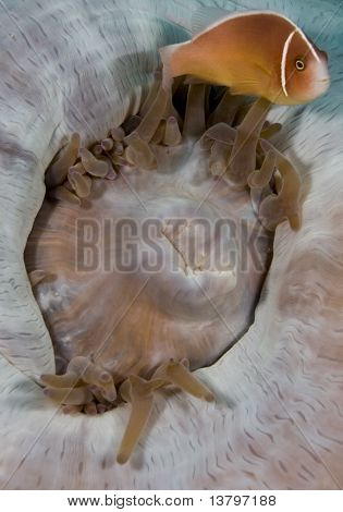 Pink Anemonefish On Closed Anemone
