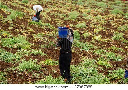 ADANA, TURKEY- JUNE 3, 2015: Kurdish womens are harvesting potatoes in the field as a seasonal worker in agricultural production sector in Cukurova