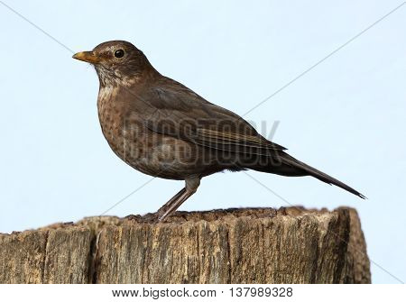 Close up of a female Blackbird perched on a tree stump