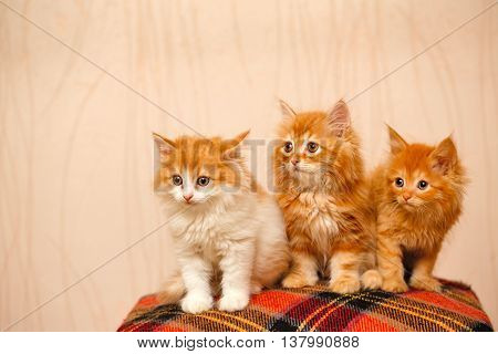 Three nice little ginger kittens sitting on plaid. Pets. Funny animals.