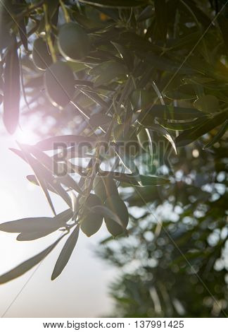 Olives and sun flare