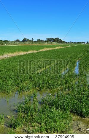 view of a paddy field in the Albufera in Valencia, Spain