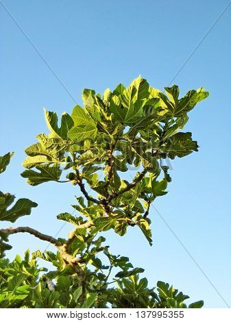 fig tree with green fruits - blue sky
