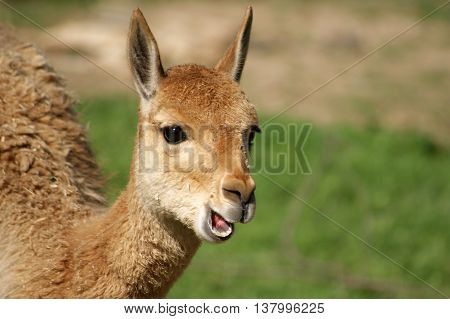 Lama Vicuna (Vicugna Vicugna) with open mouth