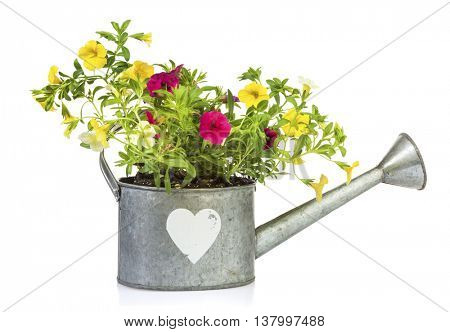 Yellow and purple million bells flowers planted into tin watering can with heart shape isolated on white background