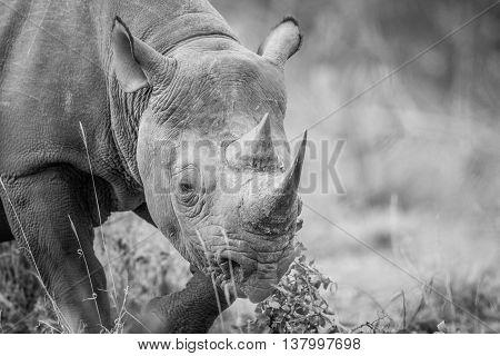 A Black Rhino Starring In Black And White.