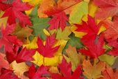 picture of fall leaves  - Colorful fall leaves of various trees on the ground - JPG