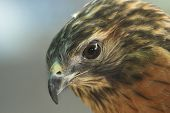 stock photo of small-hawk  - The Merlin  - JPG