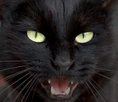 image of mew  - Portrait of a black cat face mewing - JPG