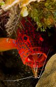 Leopard Grouper With Cleaner Shrimp