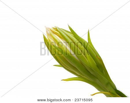 Dragon Fruit Flower Bud