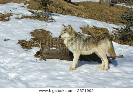 Gray Wolf On Deer Carcass
