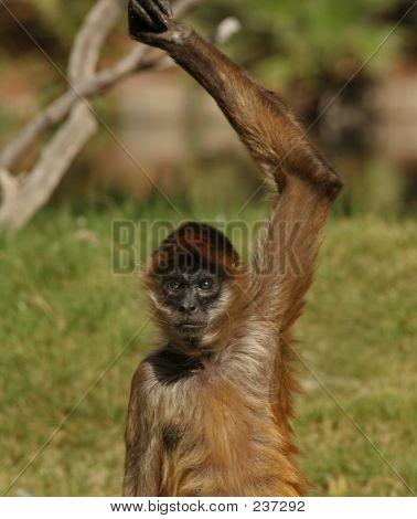 Spider Monkey Arm Up