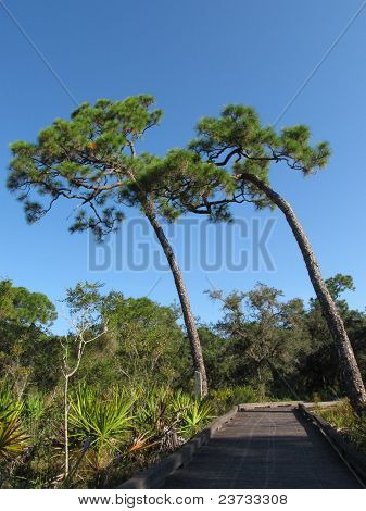 Tilt of the Slash Pines