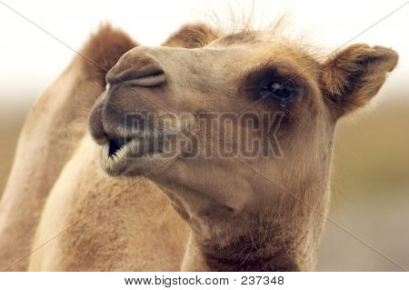 Eye Level With A Camel