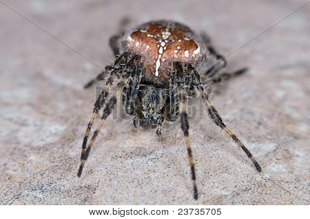 Cross Spider Orb Spider crawling on floor