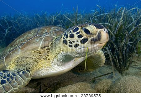 Green turtle feeding on sea grass.