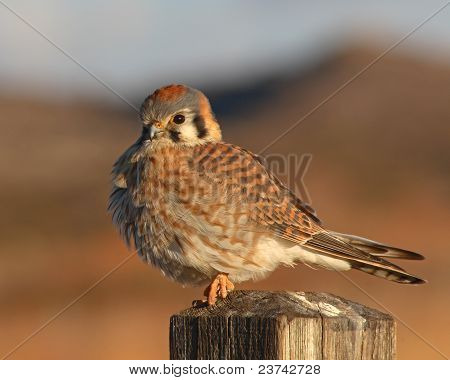 American Kestrel Puffed Up