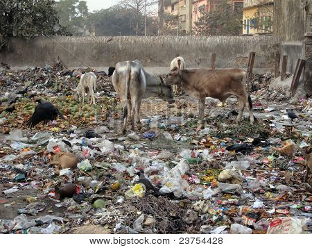 Streets Of Kolkata. Animals In Trash Heap