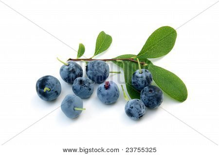 Berries Of A Bog Bilberry With Leaves