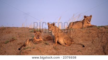 Africa-Lion Cubs In Setting Sunlight