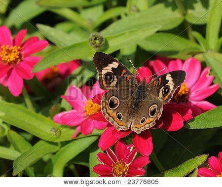 Buckeye borboleta (Precis coenia)