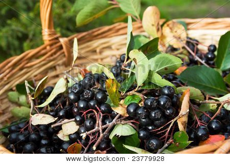 Chokeberries (aronia) Berries In Basket