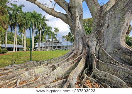 Huge Banyan Tree Or Moreton