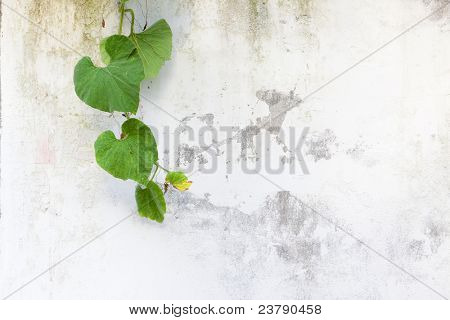 Green leaves on white wall.Vegetable Gourd is a species of Luffa, one of plant family Cucurbitaceae.