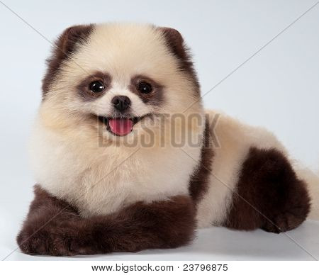 The spitz-dog painted under a panda