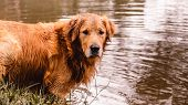 Portrait Of A Golden Retriever Dog Free, On The Outdoors (nature Scene) On The Water Of A Lake poster