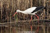 Beautiful Stork Walking On Lake Pond Coast. Kiev Ukraine. Stork Fishing On A Lake. poster