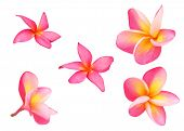 Set Of Tropical Flowers Frangipani Or Pink Plumeria Flowers Isolated On White With Clipping Path. poster