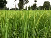 Green Rice Field Planted To Thailand. Rice Fields Planted In Good Terrain Are Perfect. Rice Farm In  poster
