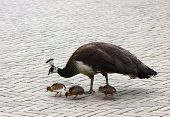 stock photo of female peacock  - A female peacock and her three chicks looking for food in the concrete jungle - JPG