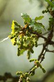 Oak, Oak Leaf Twig, Spring Fresh Green Oak Leaves. poster