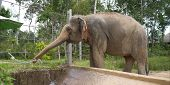 The Elephant Drinks From A Hose In The Zoo. Elephant In A Safari Park. The Elephant Drinks In The Pa poster
