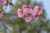Sakura, Pink Japanese Cherry Flowers Blooming Against A Pur Blue Sky At Spring Time poster