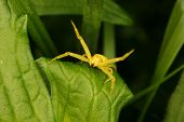 picture of goldenrod  - Goldenrod crab spider  - JPG